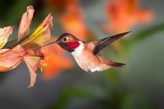 Red Glow (Patricia Ware) Tags: california canon iso200 birdsinflight fullframe manhattanbeach alstroemeria f25 allenshummingbird selasphorussasin multipleflashes specanimal 1125sec ef500mmf4lisusm httppwarezenfoliocom 2016patriciawareallrightsreserved
