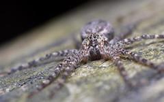 Dark Fishing Spider (Doundounba) Tags: canada macro topf25 spider montréal pentax québec araignée reversedlens k3 dolomedestenebrosus extensiontubes darkfishingspider parcnatureduboisdeliesse 35ormorefaves pentaxm2840mmf3545