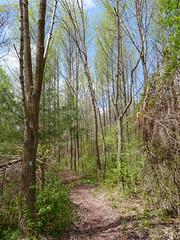 Blue trail (Dendroica cerulea) Tags: trees forest newjersey spring path nj trail eastbrunswick middlesexcounty irelandbrookconservationarea