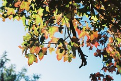 Backlit leaves (nzcarl) Tags: autumn film nikon fallcolors filmcamera nikkor usefilm kodakektar100