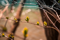 Budding (A Great Capture) Tags: toronto ontario canada tree green nature water river spring woods photographer forrest bokeh walk branches canadian growth bud budding springtime on agc 2016 ald donriver ash2276 adjm ashleylduffus wwwagreatcapturecom agreatcapture