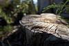 minas tirith (nocklebeast) Tags: ca usa santacruz reptile ucsc ucsantacruz minastirith nrd oneiric ucscarboretum scphoto minastirithl2000225