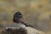 Black Phoebe fledging (Happy Photographer) Tags: california baby bird beach rock lajolla blackphoebe fledgling amyhudechek