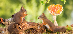 youngs (Geert Weggen) Tags: autumn light red summer  plant cute fall nature mushroom animal closeup mammal happy rodent moss spring squirrel funny bright young ground toadstool pup geert perennial weggen ilobsterit hardeko
