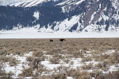 Moose in the park 6 (Aggiewelshes) Tags: travel winter snow mountains landscape scenery moose april wyoming jacksonhole grandtetonnationalpark 2016 gtnp