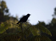 Tui singing (Buffy May) Tags: newzealand birds silhouette wellington karori zealandia