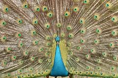 Palos Verdes Peacock (SheilaParker3) Tags: birds peacocks palosverdes