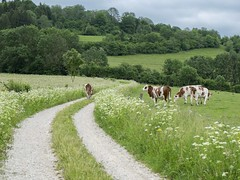 Ecole buissonnire ** (Titole) Tags: field fence cows path jura fields chemin vaches hedges haies unanimouswinner montbliardes friendlychallenges thechallengefactory titole nicolefaton
