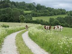Ecole buissonnière **---+--° (Titole) Tags: vaches cows field jura montbéliardes titole chemin fields fence nicolefaton path haies hedges friendlychallenges thechallengefactory unanimouswinner 15challengeswinner challengeyouwinner