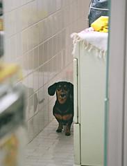 Didi (Renan Catto) Tags: dog cão dogs cachorro basset agfa salsicha duoscan