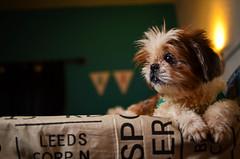 (Rodrigocolagrossi) Tags: dog ex argentina 35mm buenosaires nikon shihtzu yon 35 nich yongnuo d5100 565ex portaitdog