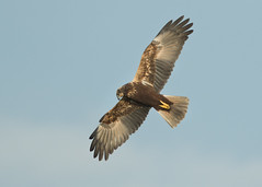 Marsh Harrier - Circus aeruginosus (Gary Faulkner's wildlife photography) Tags: pettlevel marshharrier sussexbirds