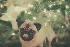 Ruby under the tree (angiemckaig) Tags: christmas pug ruby pugs