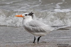 Royal Tern (Kevin B Agar) Tags: birds royaltern jamaica
