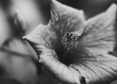(Vallelitoral) Tags: blackandwhite bw house plant flower cute planta blancoynegro home canon vintage garden casa nice flickr flor jardin bn retro f hibisco app réflex flickraward flordelpacífico
