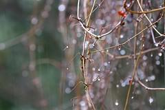 Streaks of It (Gabriel FW Koch) Tags: nature rain canon outside eos droplets drops vines dof zoom bokeh outdoor telephoto rainy raindrops streaks raining redleaves