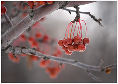 (melolou) Tags: winter red rouge berries hiver baies