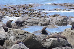 Sea Lion, Picton To Kaikoura, New Zealand (ARNAUD_Z_VOYAGE) Tags: ocean street new city mountain building art beach nature architecture landscape island state pacific action south country capital north zealand te region department southwestern municipality waipounamu ikaamui