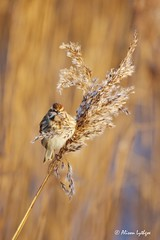 Hungry Bunting (Ali Ly) Tags: food bird reed female coast nikon day feeding outdoor feathers seeds perch perched claws titchwell rspb reedbunting northnorfolk emberizaschoeniclus d810