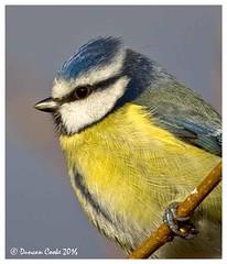 DS0D4400-Blue-Tit (duncancooke.happydayz) Tags: uk bridge blue nature birds garden tit tits wildlife british hay haybridge distinguishedbirds birdperfect naturesgreenpeace