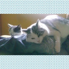 cats #catsofinstagram #instacat #manuzio #blutarsky #thegreys... (Tuttosicrea) Tags: cats fatcat cutecat funnycat ronf blutarsky thegreys manuzio catsofinstagram instacat uploaded:by=flickstagram instagram:photo=991361363746319276199187393