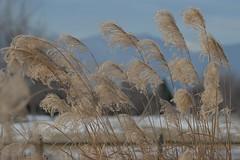 Willow winter (Rocky Pix) Tags: park county mountain barn rockies colorado pix hand longmont rocky boulder grasses held nikkor sec f8 cottonwoods telezoom 70200mmf28gvr 170mm 11250 rockypix wmichelkiteley longmontswillowfarmpark willowwinter southfordham