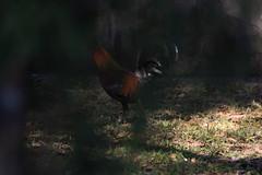 Canon201815 (godrudy6661) Tags: chickens chicken neworleans ninthward wildchicken feralchicken