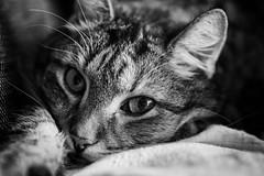 Lilly (Stefan Ledwina) Tags: blackandwhite cat blackwhite sony katze schwarzweiss schwarzweis schwarzundweis sel50f18 alpha6000 ilce6000 sillverefexpro