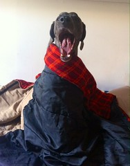 is it summer yet? (VanaTulsi) Tags: dog weimaraner weim blueweimaraner vanatulsi blueweim