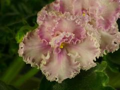 P1312385_DxO (Vladimir V. Samoylov) Tags: flowers african violet olympus 100mm africanviolet omd saintpaulia 100mmf28 m43 samyang micro43 43 microfourthirdsmicro43 em5markii samyang100mmf28edumcmacro