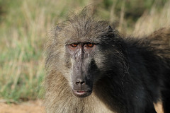 Papio ursinus  (Chacma Baboon) (Nick Dean1) Tags: canon southafrica mammal baboon primate mammalia krugernationalpark lowersabie chacmababoon papioursinus canon7d