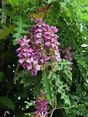 Acanthus pubescens (dracophylla) Tags: acanthaceae royaltasmanianbotanicalgardens acanthuspubescens