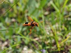 Australian Hornet in flight (Vas Smilevski) Tags: insect wasp australia insects nsw hornet westernsydney masonwasp potterwasp insectsinflight australianinsects abispaephippium mc14 australianhornet olympusomdem1 mzuiko40150mmf28pro hornetsinflight