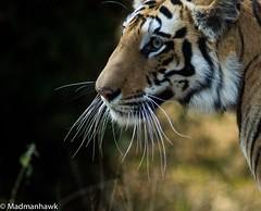The third sighting at Bandhavgarh (Hawkclicks) Tags: wild india nature wildlife tiger dslr tigress a77 bandhavgarh sonydslr sonyalfa slt77 minolta300mmprime