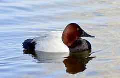 Canvasback -- Male (Aythya valisineria); Albuquerque, NM, Tingley Beach Park [Lou Feltz] (deserttoad) Tags: park newmexico reflection bird nature water duck pond waterfowl wildbird