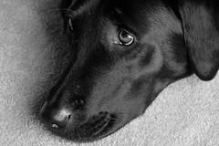 (james.simpson2016) Tags: blackandwhite dog labrador fujifilm xt10 blackladrador