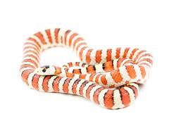 Agni (Julian Rossi) Tags: snake kingsnake arizonamountainkingsnake lampropeltispyromelanapyromelana reptile agni