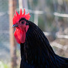 _MG_8645 (NoPlaceToHide) Tags: chicken canon coop australorp silkie 70300 marans padovana canon5dmkii