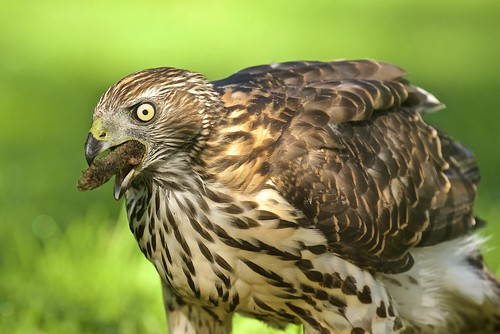 A young northern goshawk at lunchtime - Kanahaukka lounasaikaan