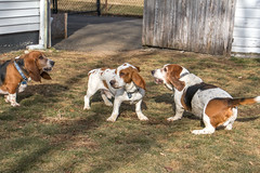 IMG_6126 (BFDfoster_dad) Tags: hound basset