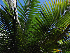 El Yunque Rainforest Palms (brucecarlson66) Tags: above travel blue vacation sky sun green leaves out landscape puerto fan us leaf rainforest floor united under el palm frond rico national shade tropical states underneath skyward along find territory yunque temperate