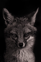 Gray Fox (Cruzin Canines Photography) Tags: california wild portrait blackandwhite nature animal animals closeup canon zoo wildlife naturallight canine calm telephoto fox wildanimal tamron majestic lowkey tam bakersfield naturepreserve grayfox californialivingmuseum 5ds canon5ds eos5ds tamronsp150600mmf563divcusd canoneos5ds