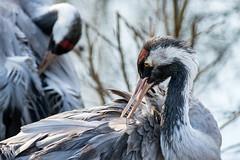 Kraanvogels (aj.lindeboom) Tags: plaatsen bestpictures gaiazoo