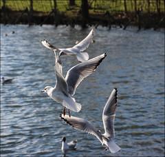 Aerial Ballet (Mabacam) Tags: park seagulls london birds flying wings pond flight richmond 2016 richmonduponthames adamspond
