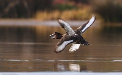 The very rare and endangered double headed, quad winged duck.......Quack! ....Quack! (Mykel46) Tags: nature birds canon wildlife au ducks australia southaustralia bif 7dmk2 goolwasouth 100400mk2