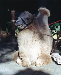 Bactrian Camel, Xiangjiang Safari Park (Animal People Forum) Tags: guangzhou china animals camel mammals camels bactrian bactriancamel xiangjiangsafaripark