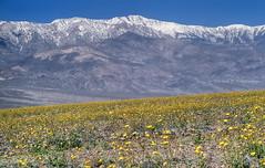 The 1998 Superbloom in Death Valley (Chief Bwana) Tags: snow 35mm deathvalley wildflowers dv nationalparks badwater desertgold deathvalleynationalpark telescopepeak psa104 chiefbwana