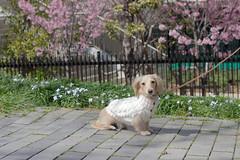 IMG_0496 (yukichinoko) Tags: dog dachshund 犬 kinako ダックスフント ダックスフンド きなこ