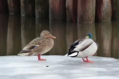 Ducks on Ice (evisdotter) Tags: winter ice birds reflections is ducks fglar nder sooc