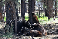 Black bears at play (Charlotte Clarke Geier) Tags: travel flowers wallpaper lighthouse bears tunnel trains condor hogan screensavers watere kayals